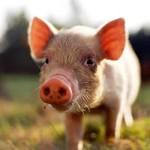 sognare-maiale-significato-interpretazione-numeri-porco-scrofa