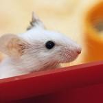 sognare-topo-significato-interpretazione-numeri-ratto