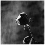rosa-nera-sogno