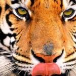 tigre-psicologia-jung-freud