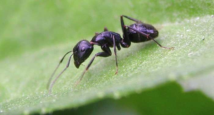 Formica nera grande