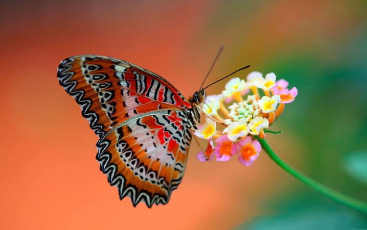 Sognare farfalle interpretazione numeri for Foto farfalle colorate