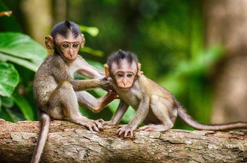 Sognare scimmie interpretazione numeri for Scimmie piccole domestiche
